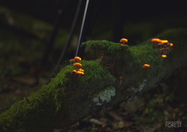 Bio-luminescent Forest - Champignons